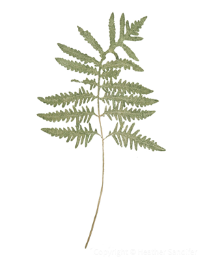 Sensitive fern 107